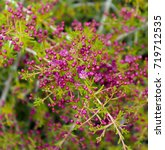 Small photo of Red boronia (B. heterophylla) has bell-shaped blossoms striking magenta pink and have a delicate perfume that adds to its appeal as a cut flower being a popular Western Australian wildflower.