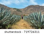 walking in the field of agave... | Shutterstock . vector #719726311