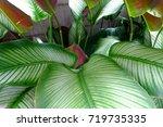 calathea majestica   | Shutterstock . vector #719735335