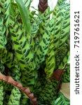 pretty leaf designs of calathea ... | Shutterstock . vector #719761621