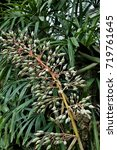 Small photo of The inflorescence (Flower Cluster) of an Aechmea Bromeliad