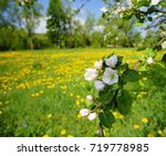 apple trees blooming in the... | Shutterstock . vector #719778985