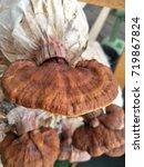 the lingzhi mushroom or reishi... | Shutterstock . vector #719867824
