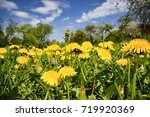 flowering dandelions on a... | Shutterstock . vector #719920369