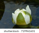 Small photo of Bud of Victoria cruziana,Victoria is a genus of water-lilies, in the plant family Nymphaeaceae, Amazona Brazil