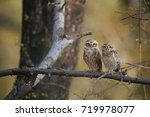 two wild owls  spotted owlet ... | Shutterstock . vector #719978077