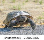 Gopher Tortoise Crossing The...