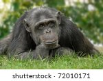 Friendly Looking Chimpanzee...