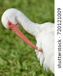 Small photo of Close up image of a American White Ibis bird, (Eudocimus albus), preening his feathers, against green grassy background.