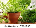 Herb gardening still life of parsley plants by sunlit kitchen window.  Closeup with shallow dof. - stock photo