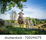 sheep in a meadow in the... | Shutterstock . vector #720194275