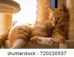 Orange Tabby Cat Cafe