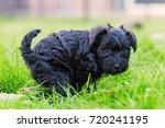 picture of a cute schnauzer...   Shutterstock . vector #720241195