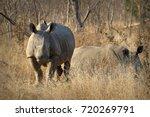 White Rhino   Rhinoceros ...