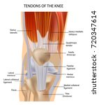 knee anatomy muscles and... | Shutterstock .eps vector #720347614