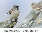 white winged snowfinch  ... | Shutterstock . vector #720358057