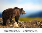 Big Brown Bear In The Nature...