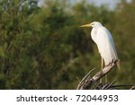 great white egret on a branch | Shutterstock . vector #72044953