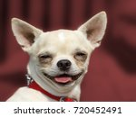 Stock photo dog chihuahua head portrait short haired red background 720452491