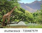 Close Up Giraffe With Green...