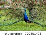Beautiful Blue Peacock...