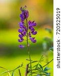 lupin flower and green... | Shutterstock . vector #720525019