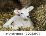 Newborn Spring Lamb Laying In...