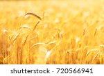 Golden Ears Of Wheat In Summer...