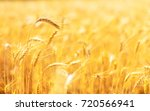 golden ears of wheat in summer... | Shutterstock . vector #720566941