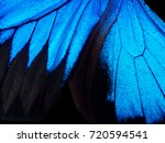 Stock photo wings of a butterfly ulysses wings of a butterfly texture background closeup 720594541