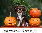 Adorable Chihuahua Dog Posing...