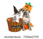 Stock photo funny puppy and kitten in halloween costumes with trick or treat basket 720662755
