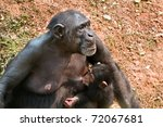 Chimpanzee Mother Breast...
