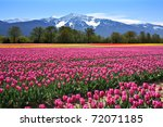 Field Of Tulips In British...