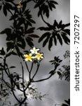 frangipani flower in the pond | Shutterstock . vector #7207297