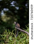 callithrix jacchus | Shutterstock . vector #720760459
