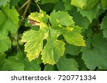 Yellow Spots On The Leaves Of...