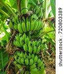 Small photo of Cultivated banana is another popular type. It can be made to eat sweet food or wait to be cooked and eat it, Thai people grow. Grow faster to yield faster