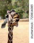 Close Up Of A Giraffe's Head