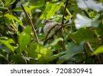 female house sparrow ... | Shutterstock . vector #720830941