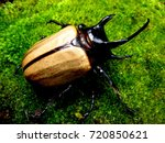 Small photo of tropical rhinoceros beetle