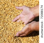 Wheat and hands of the old farmer - stock photo