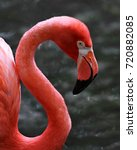 Small photo of The American flamingo is a beautiful bright pink tropical bird which breeds in the Galápagos but lives in North America.