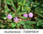 mimosa pudica  sensitive plant  ...   Shutterstock . vector #720895819