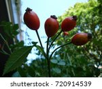 four red briers | Shutterstock . vector #720914539
