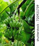 banana natural fruit in the... | Shutterstock . vector #720921739
