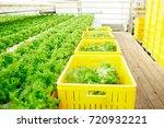 bio food growing in greenhouse... | Shutterstock . vector #720932221
