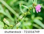 urena lobata  caesar weed ... | Shutterstock . vector #721016749