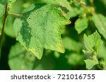 urena lobata  caesar weed ... | Shutterstock . vector #721016755
