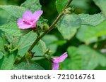 urena lobata  caesar weed ... | Shutterstock . vector #721016761
